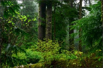 Old growth Oregon coastal forest