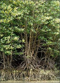 Asian mangrove