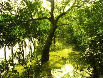 Trees in the Sundarbans.