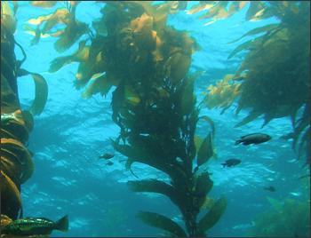 Kelp forest in Santa Barbara Channel.