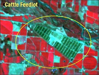 cattle feedlots