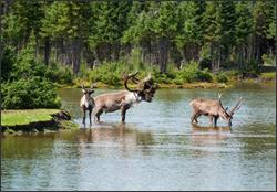 Caribou Biology