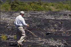 Accessing regrowth in a Hawaiian lava field.
