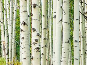 Aspen Tree Trunks
