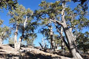 ridge-top bristlecone pine forest