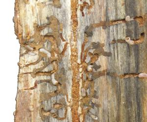 Beetle-damage tree