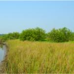 NW Florida mangroves