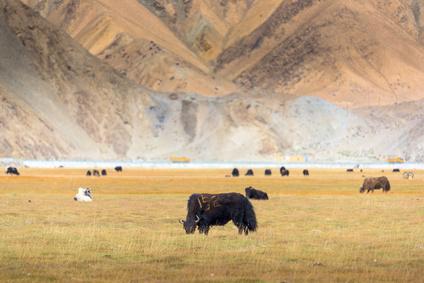 livestock, Pamir Mountains