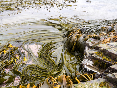 kelp on Falkland Islands