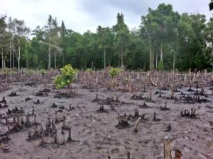clearcut mangrove in Tanzania