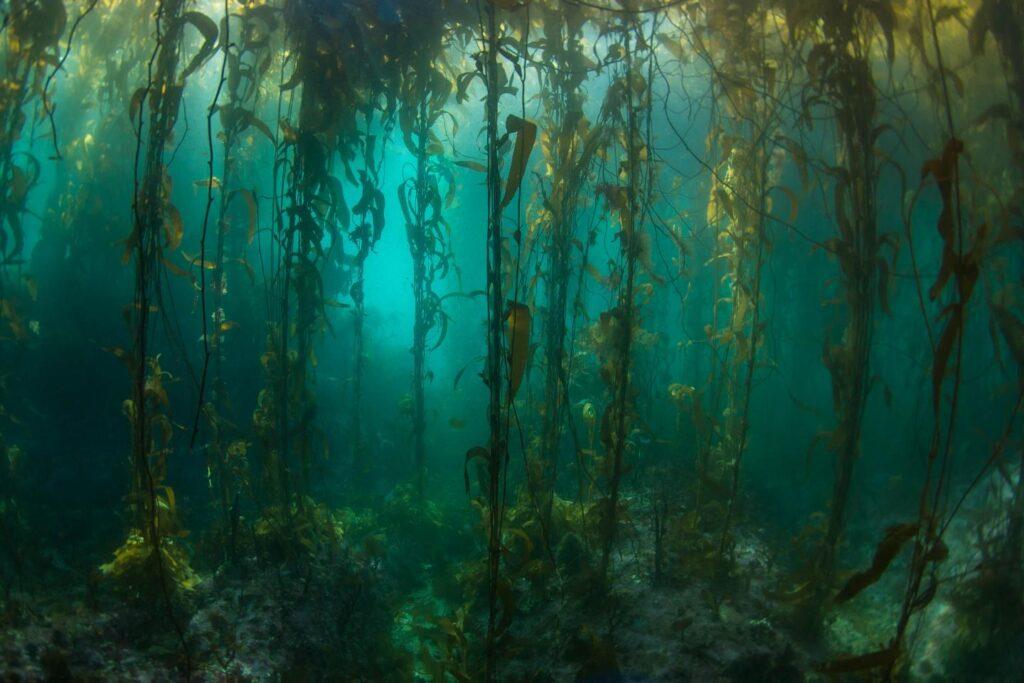 underwater shot of kelp in South American