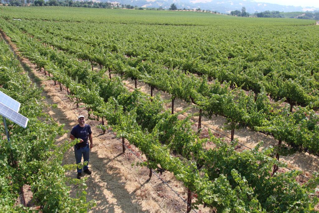 USDA-ARS scientist in a cabernet sauvignon field in Sonoma County