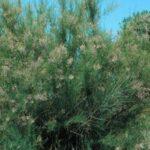 Tamarisk plant